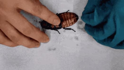 日本研究团队试图控制蟑螂 让它按照人类指令行动